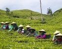 Sejumlah pekerja memetik daun teh hijau pada Perkebunan Dewata milik PT KBP Chakra di Kawasan hutan lindung Pegunungan Tilu, Bandung, Jabar, Rabu (29/4). Perkebunan PT. KBP Chakra menjadi penyuplai teh hijau bagi minuman kemasan Nu Green Tea yang merupakan pemain terbesar Ready to Drink (RTD) jenis teh hijau di Indonesia dengan market share sebesar 53 persen.  ANTARA FOTO/Vitalis Yogi Trisna/ed/Spt/15